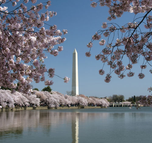 Cherry Blossoms in DC - Law Office of Shelly Ingram