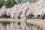 Washington DC Cherry Blossoms - Law Office of Shelly Ingram